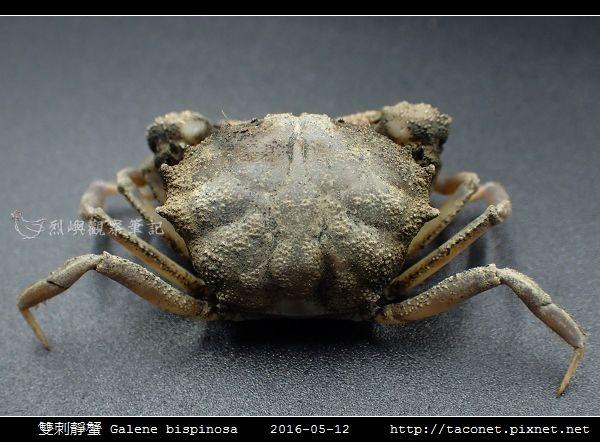 雙刺靜蟹 Galene bispinosa_06.jpg