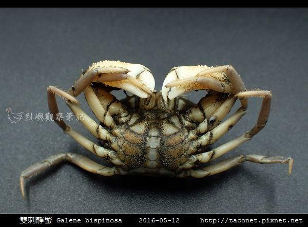 雙刺靜蟹 Galene bispinosa_08.jpg