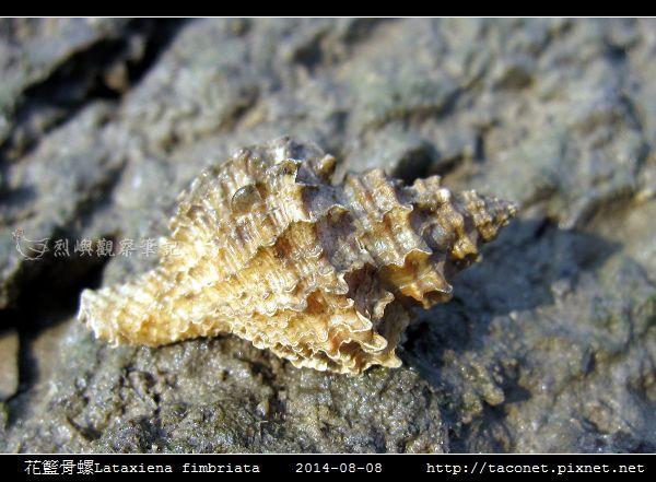 花籃骨螺Lataxiena fimbriata_01.jpg