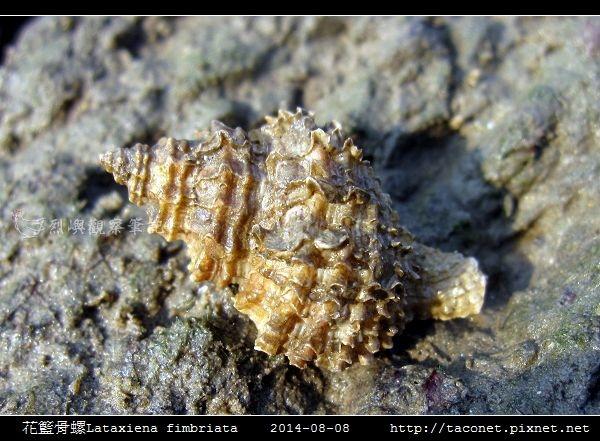 花籃骨螺Lataxiena fimbriata_02.jpg