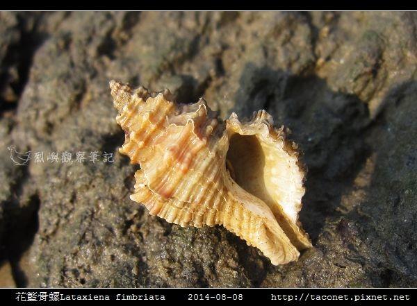 花籃骨螺Lataxiena fimbriata_03.jpg
