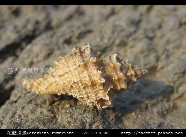花籃骨螺Lataxiena fimbriata_04.jpg