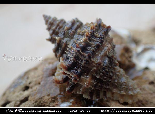 花籃骨螺Lataxiena fimbriata_08.jpg