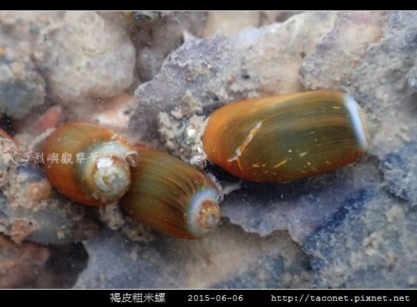 褐皮粗米螺_06.jpg