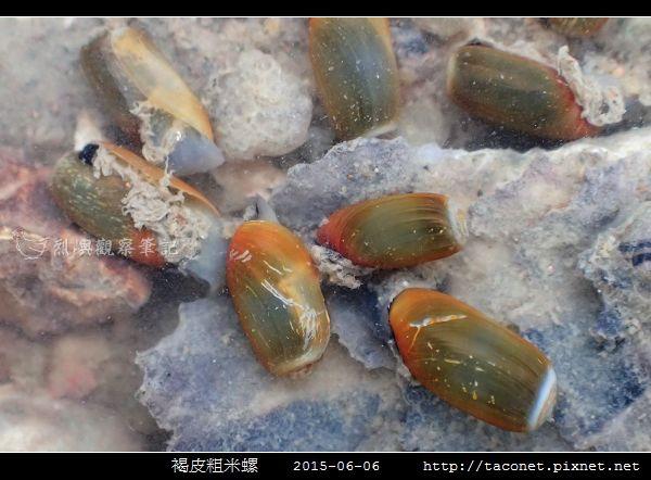 褐皮粗米螺_05.jpg