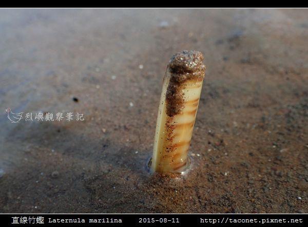 直線竹蟶 Laternula marilina_01.jpg