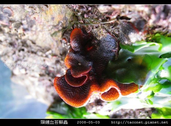 頸鏈血苔蘚蟲_02.jpg