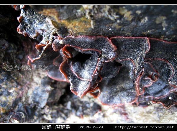 頸鏈血苔蘚蟲_05.jpg