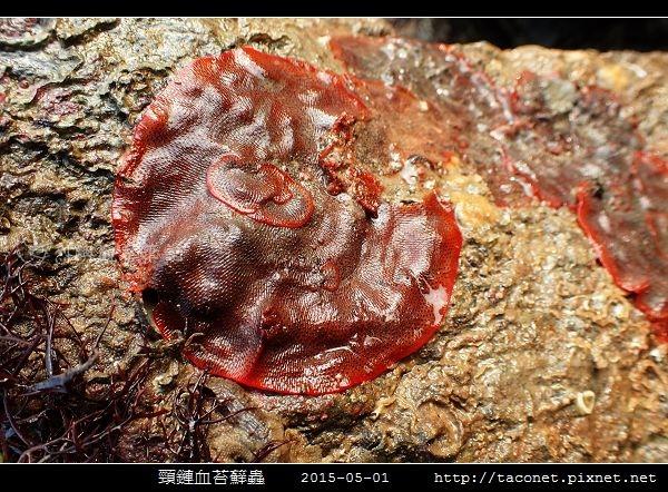 頸鏈血苔蘚蟲_07.jpg