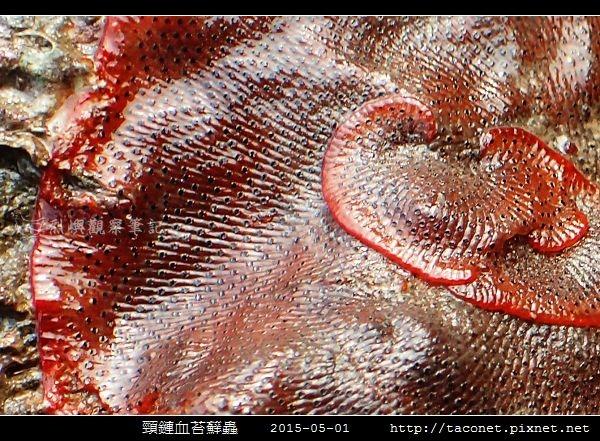 頸鏈血苔蘚蟲_08.jpg
