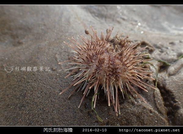 芮氏刻肋海膽 Temnopleurus reevesii_01.jpg