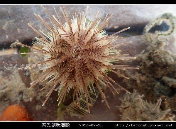 芮氏刻肋海膽 Temnopleurus reevesii_02.jpg