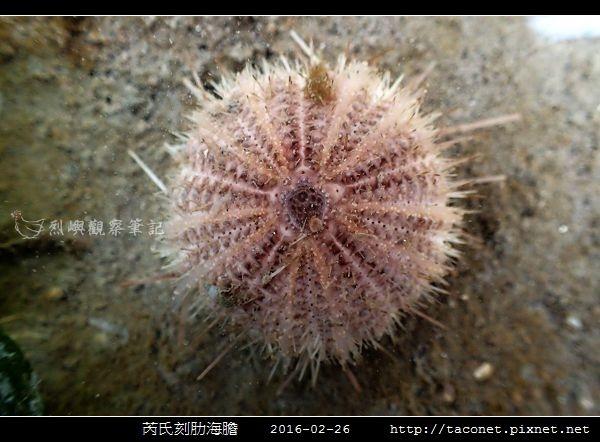 芮氏刻肋海膽 Temnopleurus reevesii_06.jpg