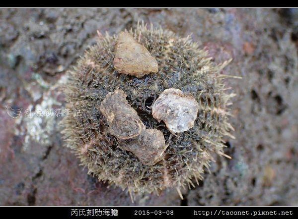 芮氏刻肋海膽 Temnopleurus reevesii_08.jpg