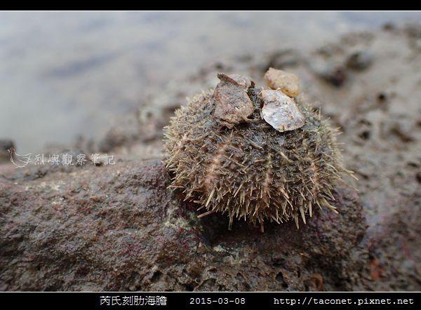 芮氏刻肋海膽 Temnopleurus reevesii_09.jpg