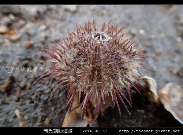 芮氏刻肋海膽 Temnopleurus reevesii_12.jpg