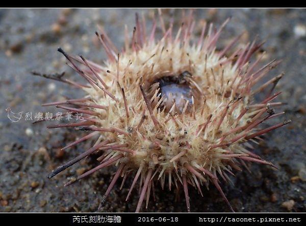 芮氏刻肋海膽 Temnopleurus reevesii_14.jpg