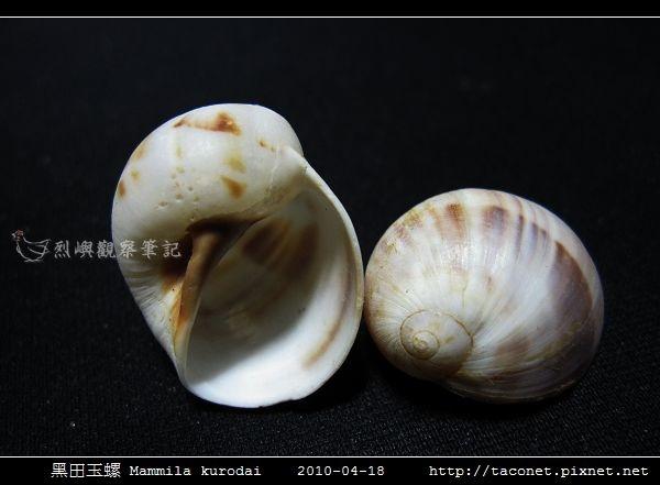 黑田玉螺 Mammila kurodai_03.jpg