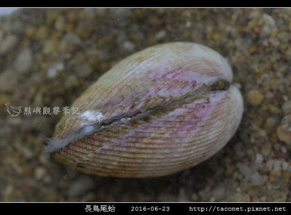 長鳥尾蛤 Vasticardium elongatum_01.jpg