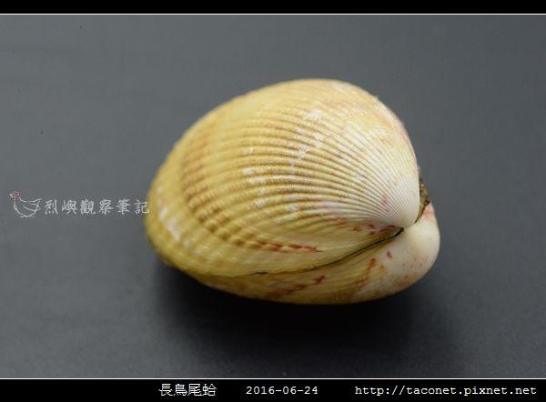 長鳥尾蛤 Vasticardium elongatum_03.jpg