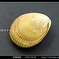 長鳥尾蛤 Vasticardium elongatum_04.jpg
