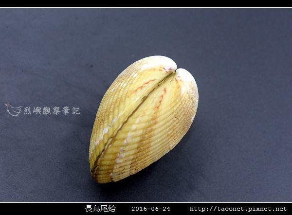 長鳥尾蛤 Vasticardium elongatum_05.jpg