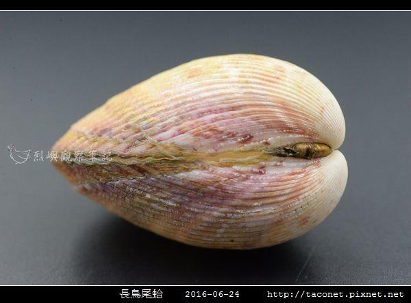 長鳥尾蛤 Vasticardium elongatum_07.jpg