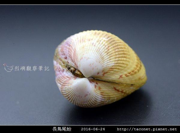 長鳥尾蛤 Vasticardium elongatum_06.jpg
