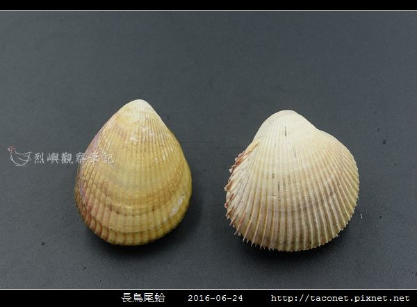 長鳥尾蛤 Vasticardium elongatum_10.jpg