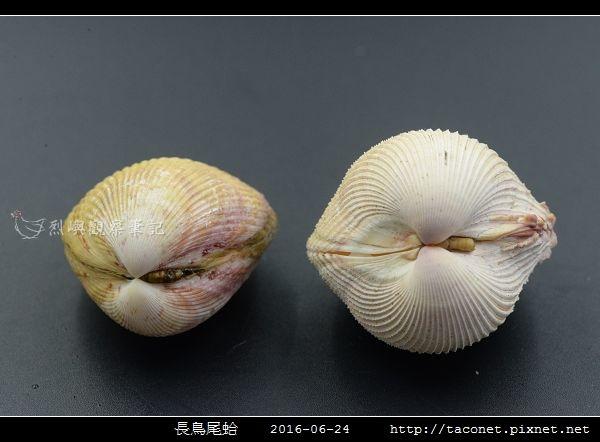 長鳥尾蛤 Vasticardium elongatum_11.jpg