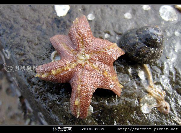 林氏海燕 Asterina limboonkengi_01.jpg