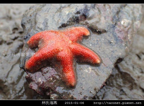 林氏海燕 Asterina limboonkengi_03.jpg