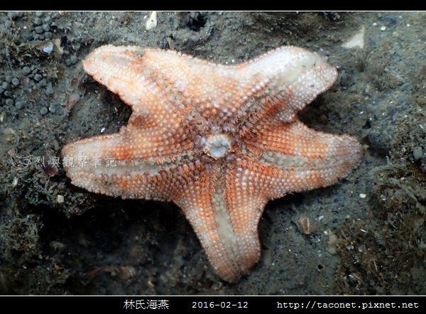 林氏海燕 Asterina limboonkengi_06.jpg