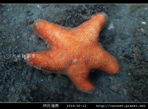林氏海燕 Asterina limboonkengi_07.jpg