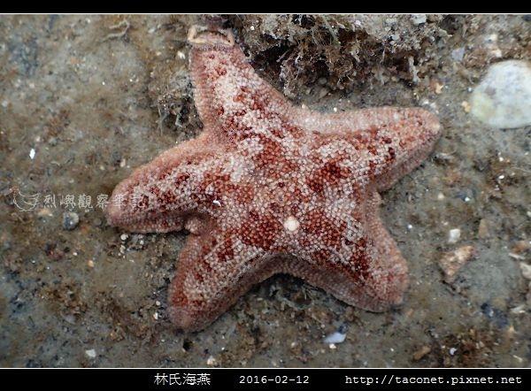 林氏海燕 Asterina limboonkengi_08.jpg