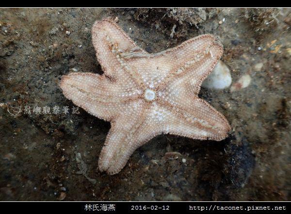 林氏海燕 Asterina limboonkengi_09.jpg
