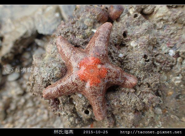 林氏海燕 Asterina limboonkengi_11.jpg