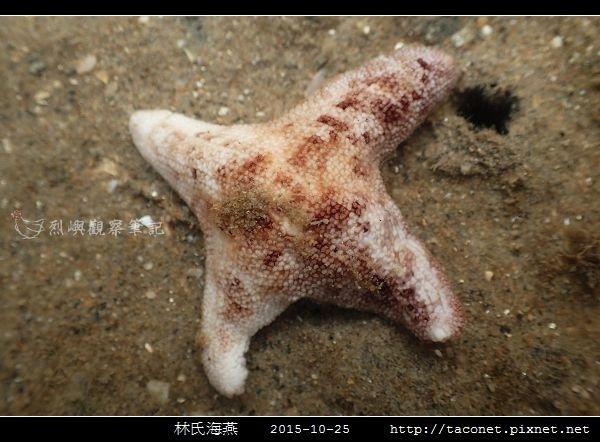 林氏海燕 Asterina limboonkengi_12.jpg