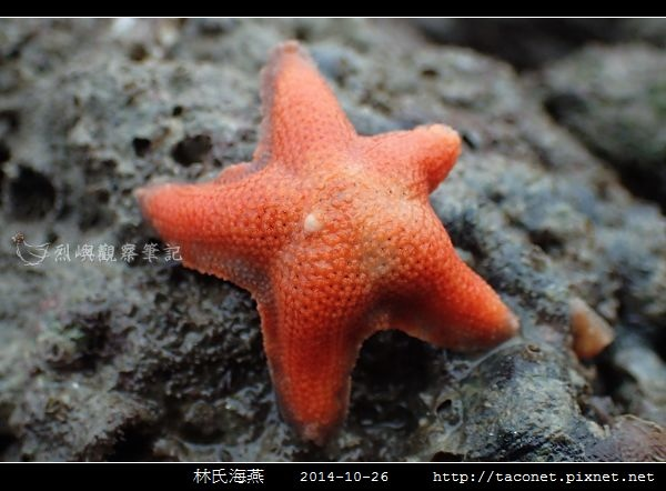 林氏海燕 Asterina limboonkengi_14.jpg