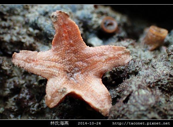 林氏海燕 Asterina limboonkengi_15.jpg