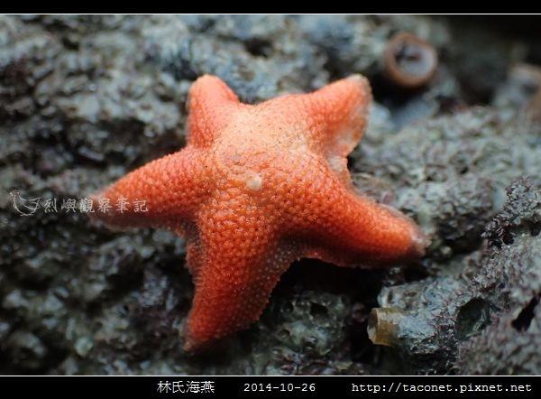 林氏海燕 Asterina limboonkengi_16.jpg