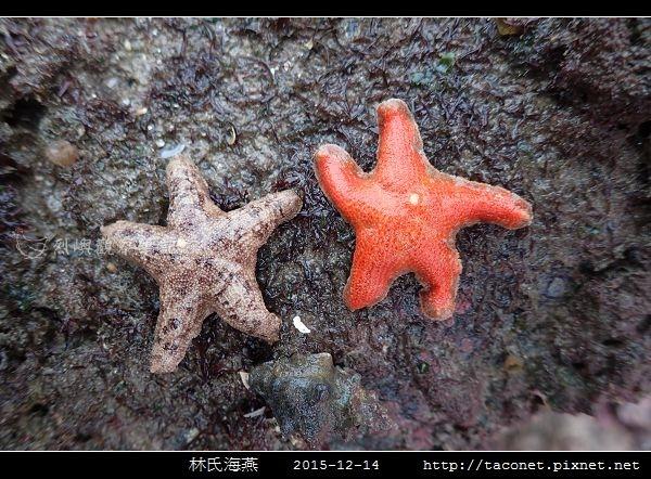 林氏海燕 Asterina limboonkengi_18.jpg