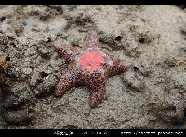 林氏海燕 Asterina limboonkengi_17.jpg