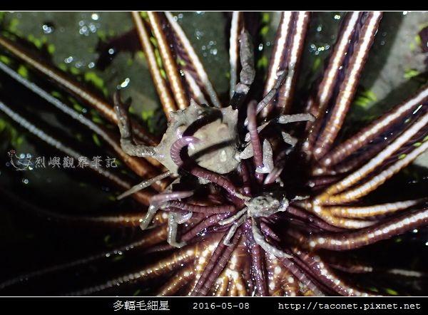 多輻毛細星 Capillaster multiradiatus__02.jpg