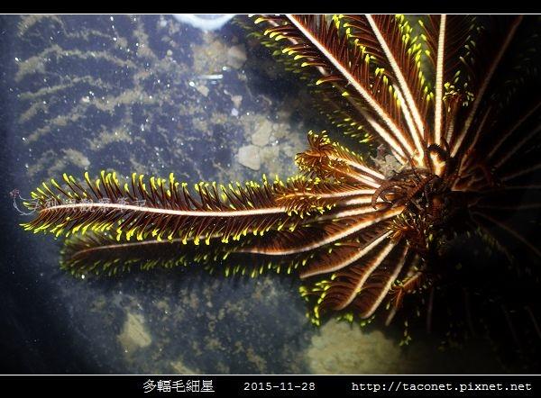 多輻毛細星 Capillaster multiradiatus__05.jpg
