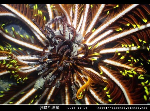 多輻毛細星 Capillaster multiradiatus__08.jpg