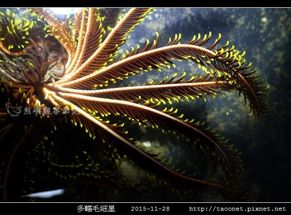 多輻毛細星 Capillaster multiradiatus__09.jpg