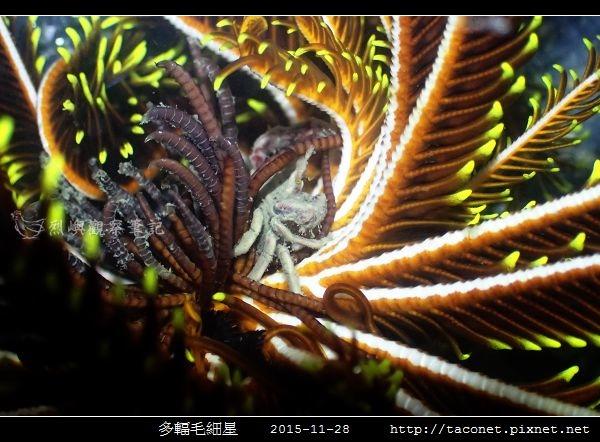 多輻毛細星 Capillaster multiradiatus__10.jpg