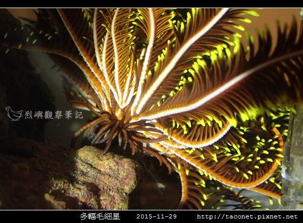 多輻毛細星 Capillaster multiradiatus__12.jpg