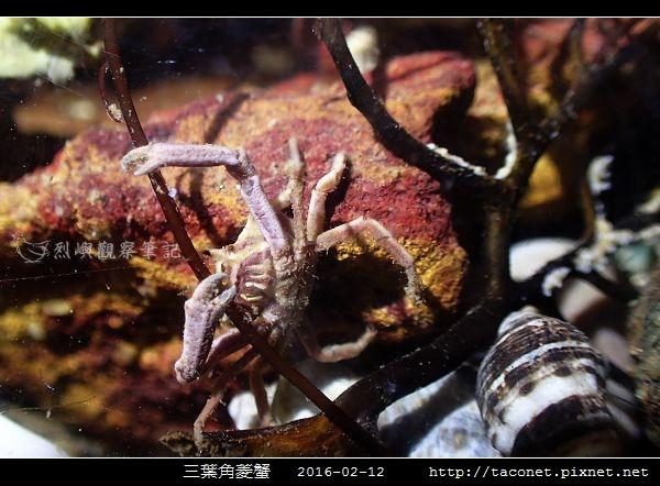 三葉角菱蟹 Ceratocarcinus trilobatu_01.jpg
